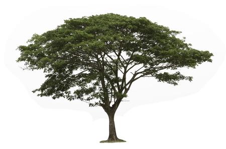 Rain tree  Samanea saman  ,Tree in Thailand ,isolated on white background