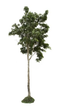 evergreen tree: Tree in the forests of Thailand, isolated on white background Stock Photo