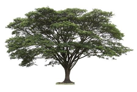 samanea saman: Rain tree  Samanea saman  ,Tree in Thailand ,isolated on white background