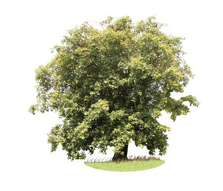 Bodhi tree isolated on white background Stock Photo