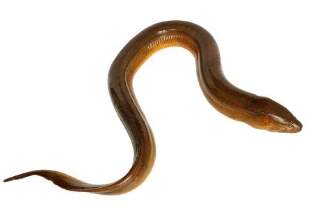 eel.large freshwater eel.
