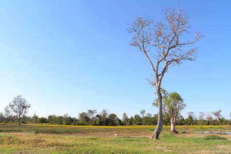 arboles secos: Los �rboles muertos en el pasto.