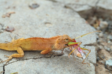 Chameleon eating locusts. Stock Photo - 12613723