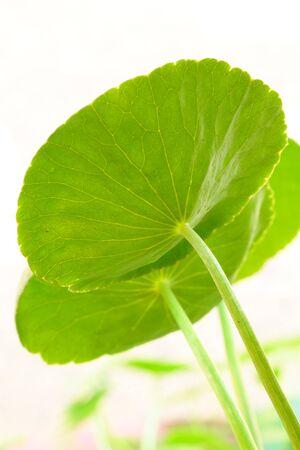 The scientific name is Centella asiatica Urban Known as  gotu kola