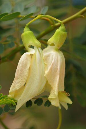 pers: The scientific name Sesbania grandiflora  L   Pers Stock Photo
