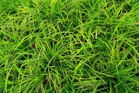 tectorius: background flora Scientific name Pandanus tectorius  Blume