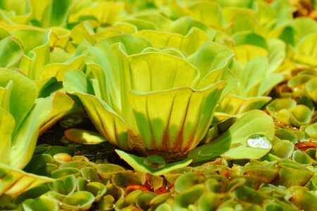 unwanted flora: Close-up Water lettuce  Pistia stratiotes L