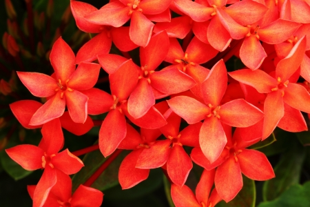 Red flower close-up West Indian Jasmine scientific name Ixora chinensis Lamk  photo