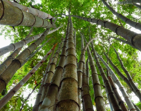 bamboo tree: Bamboo from bottom to top  Stock Photo