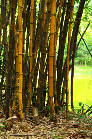 Golden bamboo  photo