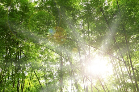 Light bamboo forest  photo