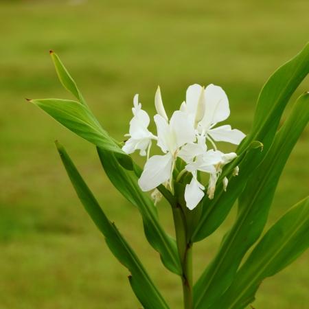 galangal: Galangal white flowers  Stock Photo
