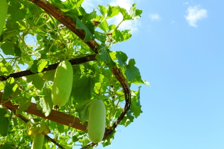 Tree of Wax gourd  Benincasa hispida Cogn   photo