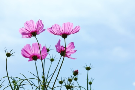 flowers cosmos against the blue sky   Cosmos sulphureus Cav   photo