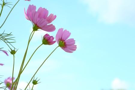 cav: flowers cosmos against the blue sky   Cosmos sulphureus Cav