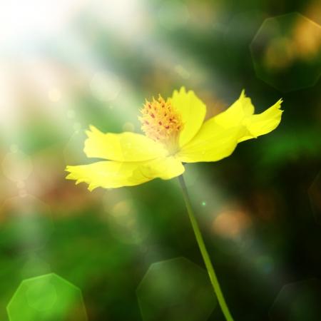cav: The sun shines through the flowers   Cosmos sulphureus Cav