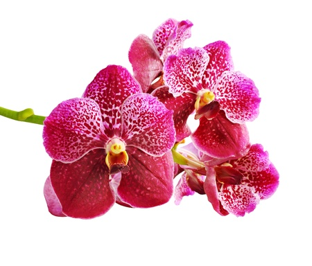 Close-up vanda red on a white background
