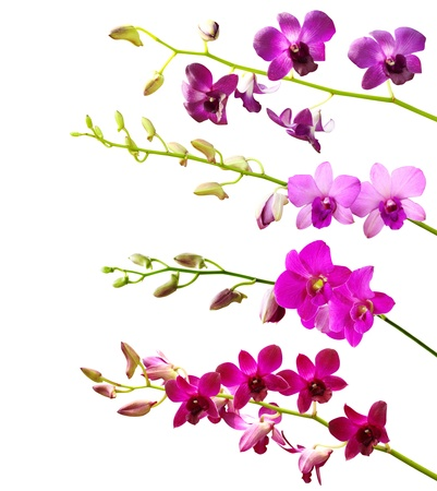 pink orchid: Collection of orchid flower on white background