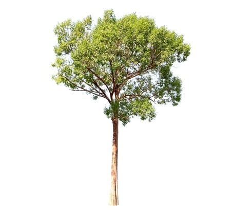leafy trees: �rboles en un fondo blanco