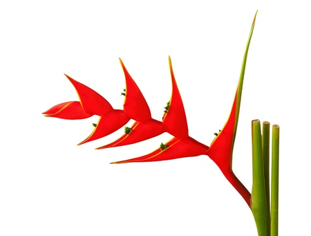 birds of paradise: Heliconia flower on a white background  Stock Photo