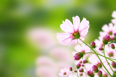 flower pink cosmos   Cosmos sulphureus Cav   Stock Photo