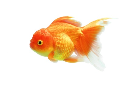 Goldfish on a white background Stock Photo - 16602047
