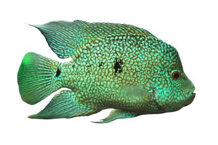 Cichlid of on white background  Cichlid ae  Stock Photo - 16602134