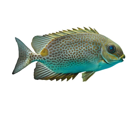 Siganus oramin On a white background  Siganus canaliculatus  photo