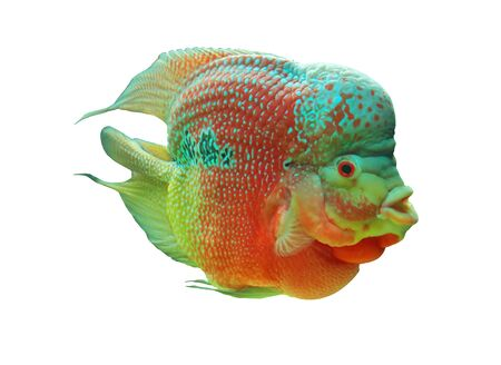 chidae: Cichlid of on white background  Cichlid ae