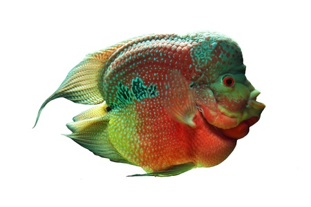 peacock cichlid: Cichlid of on white background  Cichlid ae
