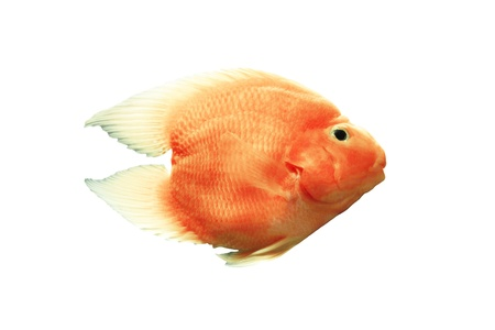 blood parrot: Blood parrot cichlid On a white background