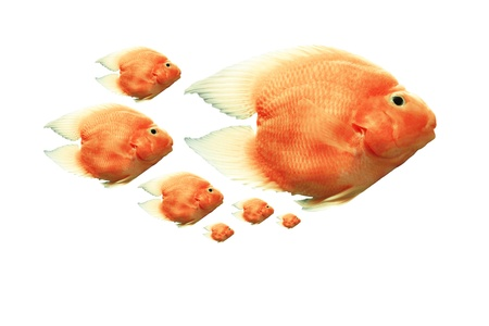 Blood parrot cichlid On a white background  Stock Photo - 16601973