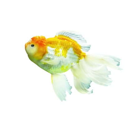 Goldfish on a white background  Stock Photo - 16602031