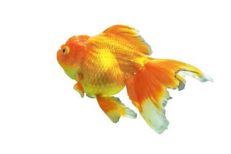 Goldfish on a white background  Stock Photo - 16601951