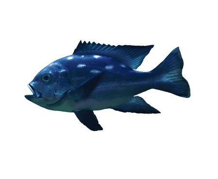 peacock cichlid: Tropical fish