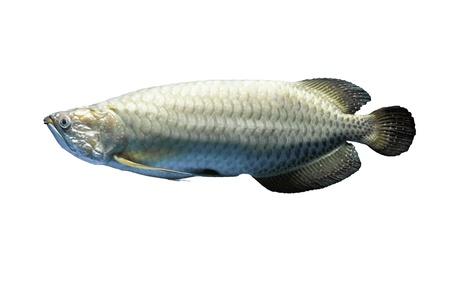 Asian arowana  photo