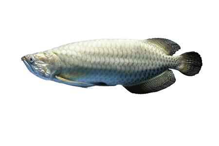 peacock cichlid: Asian arowana