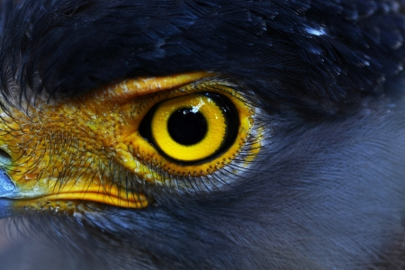 Serpent-Eagle close-up face  Spilornis cheela  photo