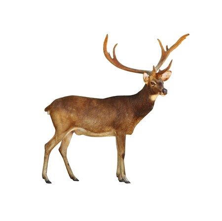 an ungulate: Deer Rusa maschio su bianco