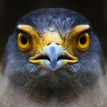 Serpent-Eagle close-up face  Spilornis cheela Stock Photo - 16905816