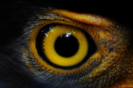 Serpent-Eagle close-up gezicht Spilornis cheela