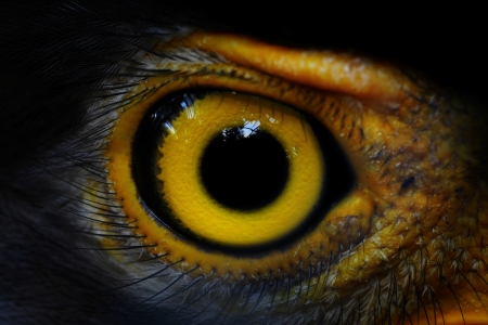 a large bird of prey: Serpent-Eagle close-up viso Spilornis cheela