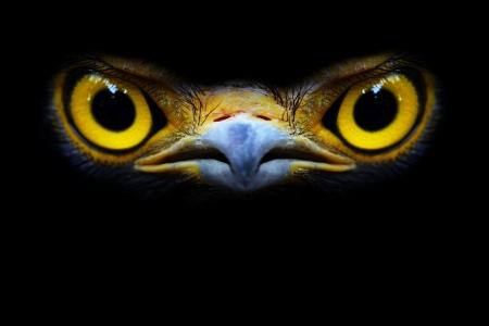halcones: Serpiente-�guila close-up cara Spilornis cheela Foto de archivo