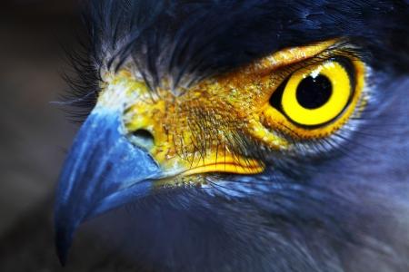 ojos marrones: Serpiente-�guila close-up cara Spilornis cheela Foto de archivo