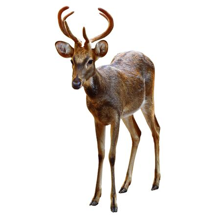 Deer Rusa male on white  photo