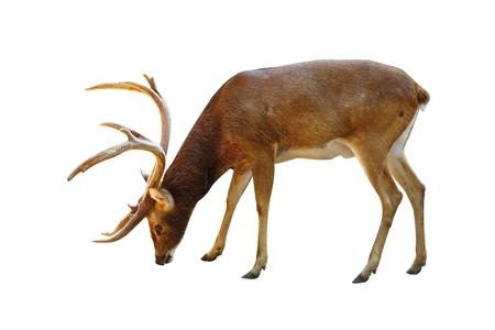 Deer Rusa male on white