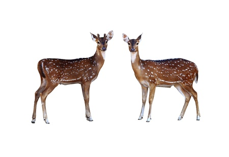 axis: Axis deer on a white background  Stock Photo