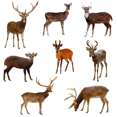 Collection of deer on a white background