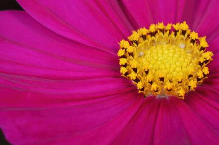 cav: Close-up of flower pollen   Cosmos sulphureus Cav
