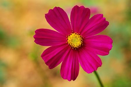 cav: Close-up of flower   Cosmos sulphureus Cav